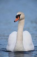 Mute Swan (Cygnus olor), adult swimming in Heckscher Lake in Huntington, New York.