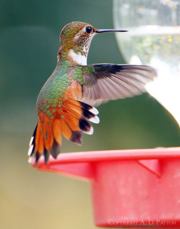 Adult female rufous hummingbird