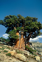 141400016 a magnificent western juniper juniperus occidentalis rises majestically from boulder strewn hillside in the yosemite high country yosemite national park california