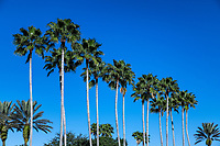 Tropical palm trees, Kissimmee, Florida, USA.