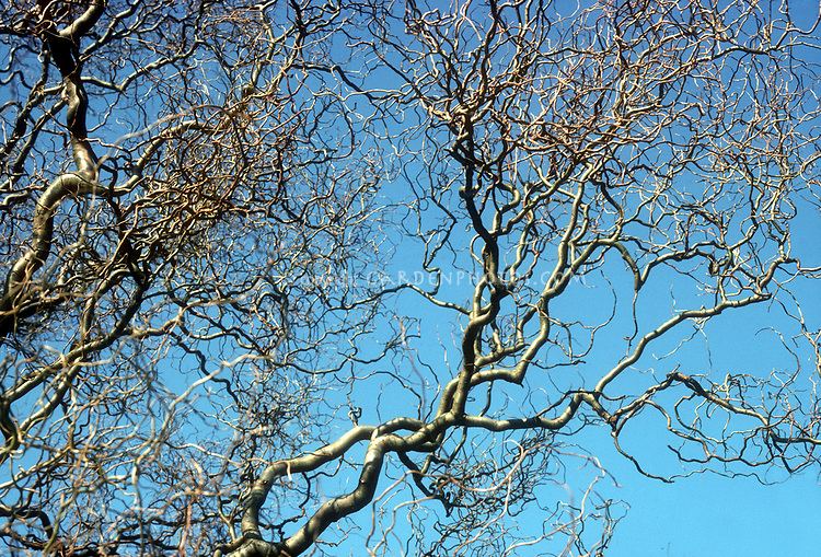 Salix matsudana 'Tortuosa' deciduous tree showing winter tracery of branches