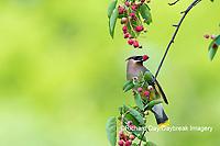 01415-03515 Cedar Waxwing (Bombycilla cedrorum) eating Serviceberry (Amelanchier canadensis) Marion Co. IL