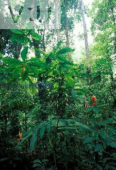 Tropical rainforest understory, Asa Wright Nature Center, Trinidad.