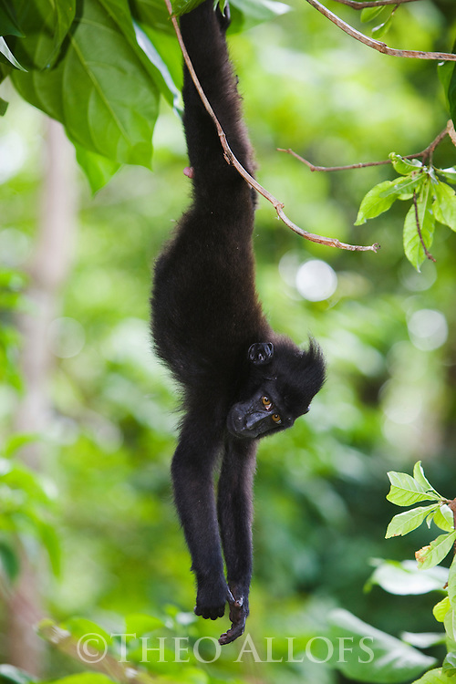 Young crested black macaque hanging upside down from tree branch, (Macaca nigra), Indonesia, Sulawesi, endangered species, threatened through loss of habitat and bush meat trade, species only occurs on Sulawesi.