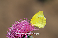 03098-00120 Lyside Sulphur butterfly (Kricogonia lyside) on thistle Starr Co. TX