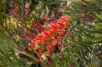 Grevillea 'Superb' flower in California summer-dry garden with Australian plants; design Jo O'Connell