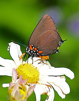 Great purple hairstreak female