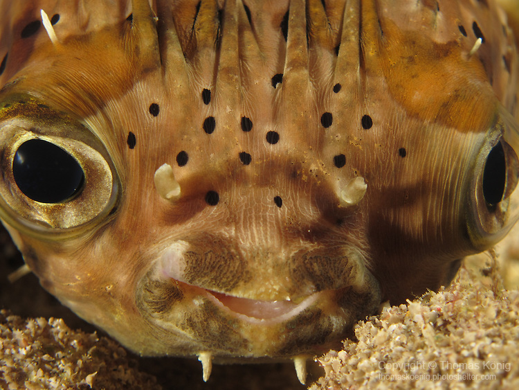 Gong Guan Harbor, Green Island -- A balloonfish  (Diodon holocanthus) resting at night.<br /> Balloonfishes are members of the porcupinefishes. These fish can move their eyes independently, as clearly seen on this image.