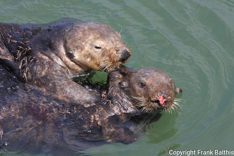 Male biting female sea otter