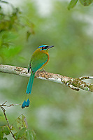 Blue-Crowned Motmot in Belize