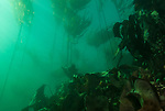 Kelp Forest in Queen Charlotte Straight, British Columbia, CA
