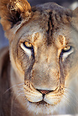 Zambia. Full face of a lioness.