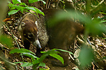 White-nosed Coati (Nasua narica) male, Panama Rainforest Discovery Center, Gamboa, Panama