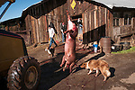 A hog carcass is taken to the barn by a tractor for scalding, shaving and gutting at the annual post-Christmas hog slaughter at the Cuneo Ranch near Jackson, in the California foothills.