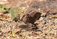 Sonoran Tiger Whiptail, Aspidoscelis tigris punctilinealis, digs a burrow in the Desert Botanical Garden, Phoenix, Arizona