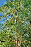 Black Walnut Tree in morning light, Washington