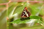 Lorquin's Admiral, Limenitis lorquini, Southern California