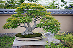Photo shows a Yamamomiji (Japanese maple tree)  on display at the Saitama Omiya Bonsai Museum of Art in Saitama, Japan on 15 Aug. 2011..Photographer: Robert Gilhooly