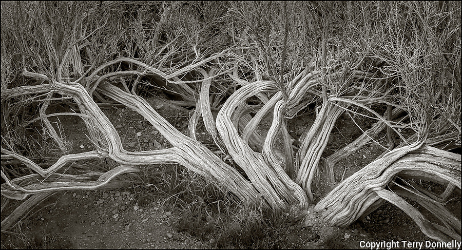 Carrizo Plain National Monument, California:<br /> Twisted forms of an ancient sage bush