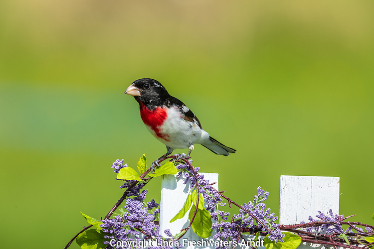 Male rose-breasted grosbeak perched on a decorated backyard fence.
