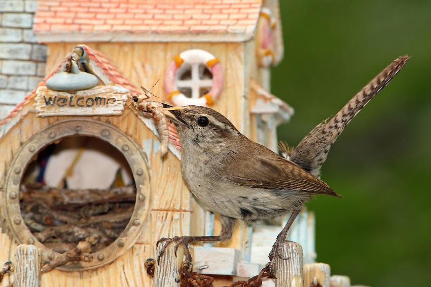Bewick's Wren at her pre-fab nest.