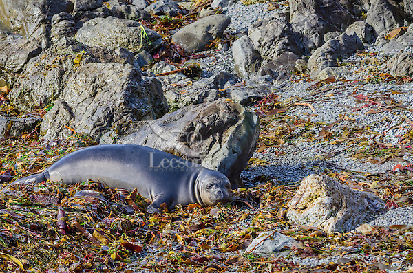 "Northern Elephant Seal (Mirounga angustirostris) pup (often called ""weaners"") resting in seaweed and kelp that has washed up on beach.  Central California coast."