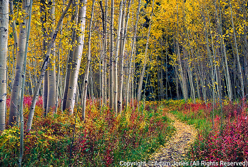Footpath through stand of autumn Aspen trees, White River National Forest, Colorado, Populus tremuloides
