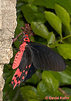 0402-08nn  Semperi Butterfly, Atrophaneura semperi, Philippines © David Kuhn/Dwight Kuhn Photography
