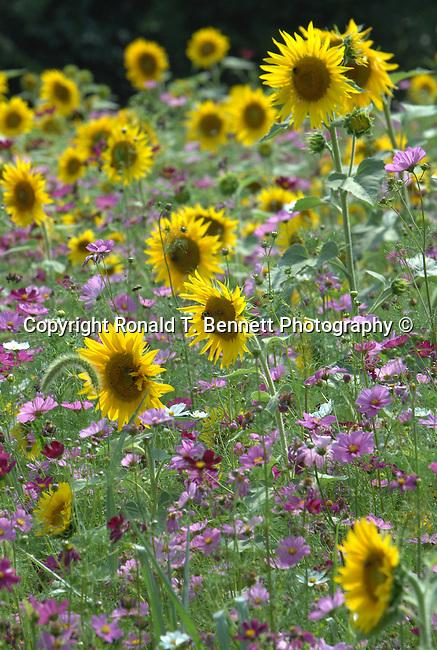 Sun flowers in Virginia,