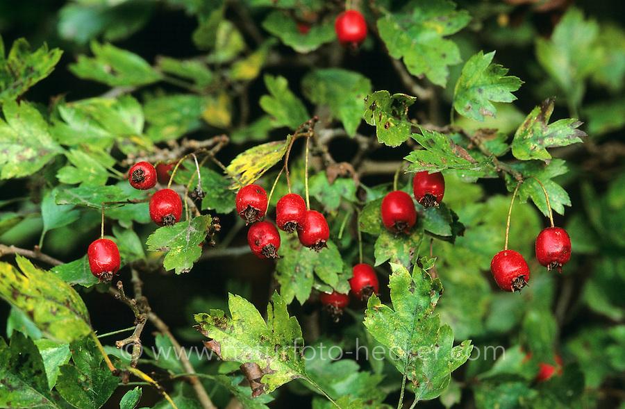 Eingriffliger Weißdorn, Früchte, Weissdorn, Crataegus monogyna, English Hawthorn, May
