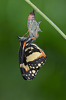 Bordered Patch (Chlosyne lacinia), butterfly expanding wings after emerging from chrysalis, series, Hill Country, Central Texas, USA
