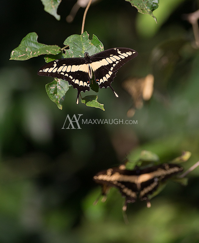 These butterflies were congregating near the road on the Osa Peninsula.
