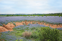 Bluebonnets at Muleshoe Bend Recreation Area, Burnet County, Texas