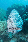 Cod Hole, Great Barrier Reef, Australia; a potato grouper hovers near a coral bommie on the reef