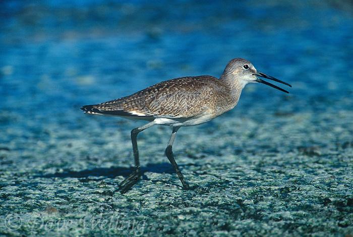 597502547 a wild willet catoptrophorus semipalmatus walks along a rocky shoreline at the salton sea national wildlife refuge in southern california
