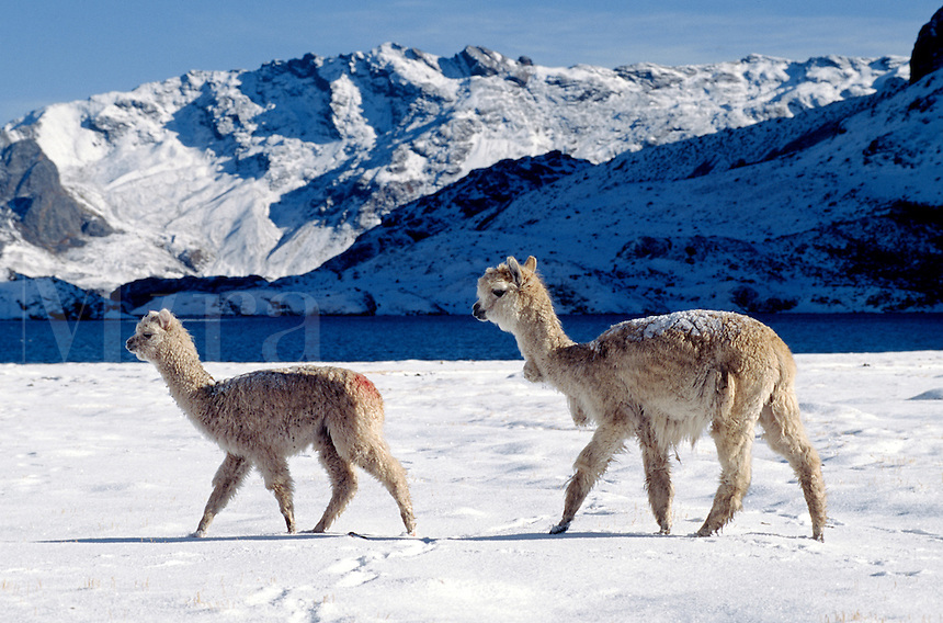 A pair of snow dusted ALPACAS pass by LAGUNA JATUN PUCACOCHA - AUZANGATE TREK, PERUVIAN ANDES