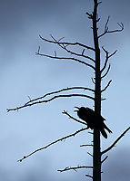 A raven caws at dusk.