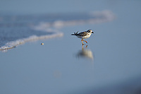 Piping Plover (Charadrius melodus), adult, South Padre Island, Texas, USA