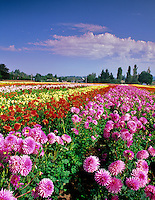 Dahlia fields. Swan Island Dahlia Farm. Oregon.