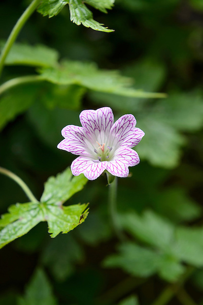 Geranium versicolor