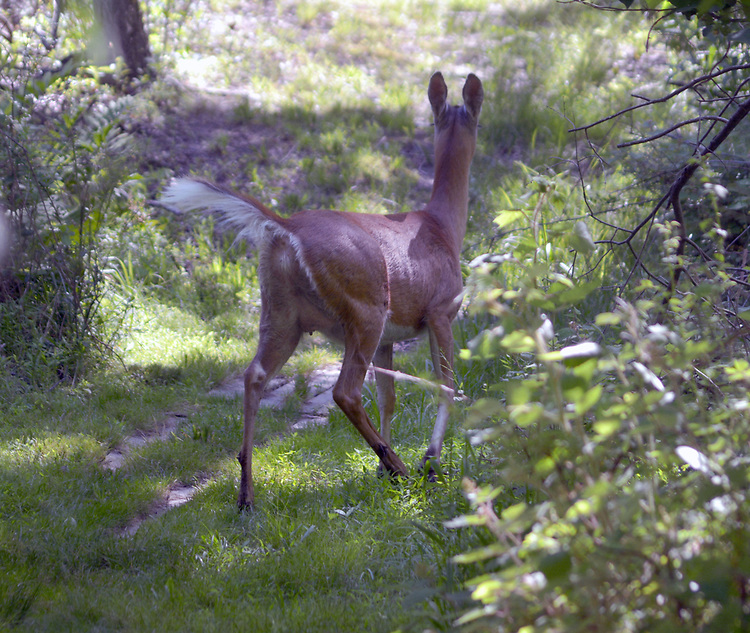 Deer seen in the Esopus Bend Nature Preserve in Saugerties, NY, on Wednesday, June 14, 2017. Photo by Jim Peppler. Copyright/Jim Peppler-2017.