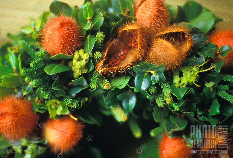 Seed pods and greens used to create ornamental wreath often at Christmas time