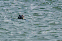 Harbor Seal off the beach near Race Point on Cape Cod preparing to dive for fish.