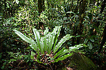 Bird's Nest Fern, Asplenium sp. in Tropical Rainforest, Masoala National Park, Madagascar, largest of the island's protected areas, UNESCO World Heritage Site, Masoala peninsula is exceptionally diverse due to its huge size, and variety of habitats