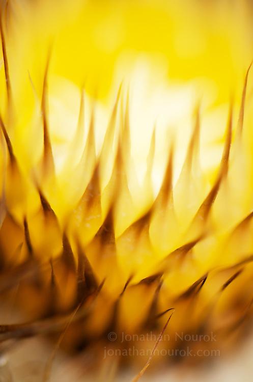 A close-up of a cactus flower.