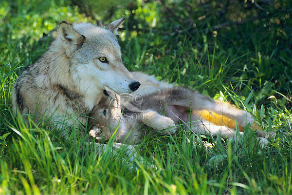 Image result for wolf and pup