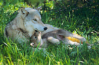Gray wolf mother with young pup.  June.