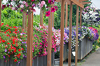 Petunia baskets at Oregon Garden. Oregon