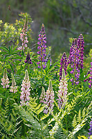 Pink and maroon lupine