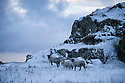 08/12/14<br /> <br /> Sheep above Winnats Pass near Castleton.<br /> <br /> After overnight snowfall in Debyshire dawn reveals stunning snowscapes across the Peak District.<br /> <br /> ***ANY UK EDITORIAL PRINT USE WILL ATTRACT A MINIMUM FEE OF &pound;130. THIS IS STRICTLY A MINIMUM. USUAL SPACE-RATES WILL APPLY TO IMAGES THAT WOULD NORMALLY ATTRACT A HIGHER FEE . PRICE FOR WEB USE WILL BE NEGOTIATED SEPARATELY***<br /> <br /> <br /> All Rights Reserved - F Stop Press. www.fstoppress.com. Tel: +44 (0)1335 300098